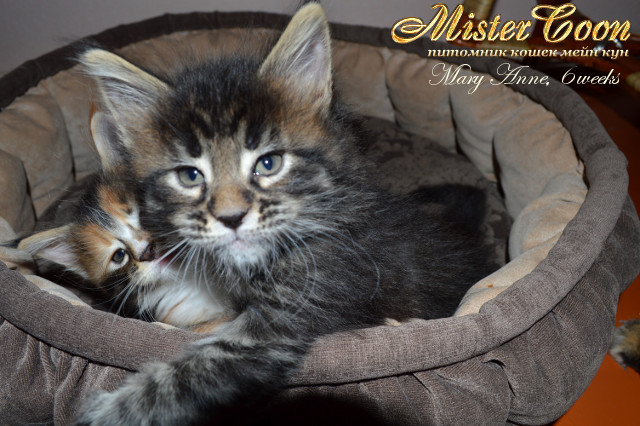 http://mistercoon.ru/images/stories/1SITE/Kitten/2013g/M/04/Mary6w_04.jpg