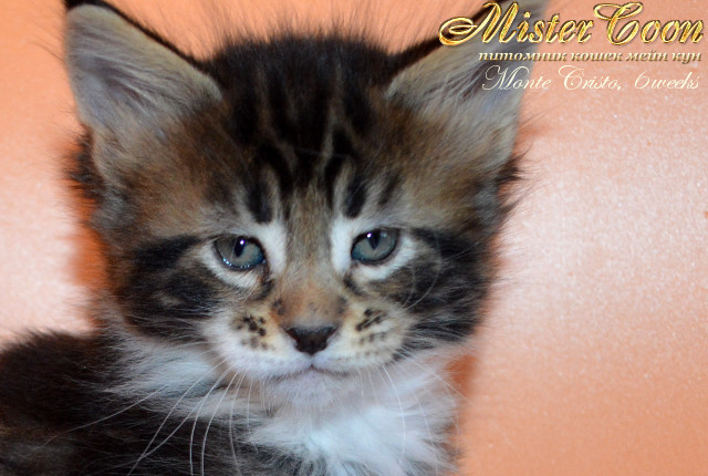 http://mistercoon.ru/images/stories/1SITE/Kitten/2013g/M/04/Monte6w_01.jpg