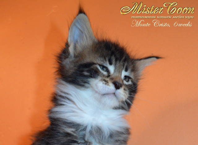 http://mistercoon.ru/images/stories/1SITE/Kitten/2013g/M/04/Monte6w_02.jpg