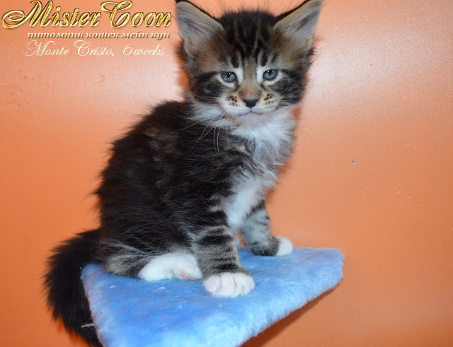 http://mistercoon.ru/images/stories/1SITE/Kitten/2013g/M/04/Monte6w_04.jpg