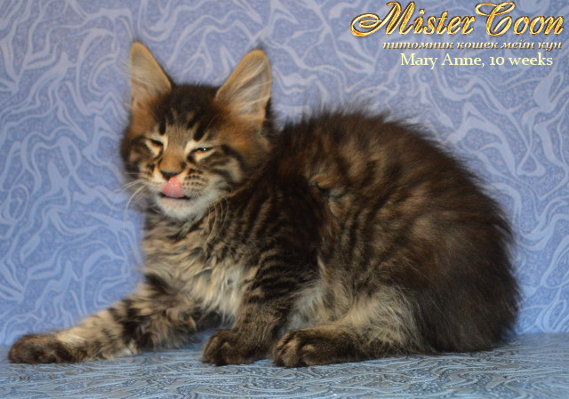 http://mistercoon.ru/images/stories/1SITE/Kitten/2013g/M/06/Mary10w_05.jpg