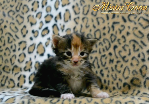 http://mistercoon.ru/images/stories/1SITE/Kitten/2014g/03/Nancy_03.JPG