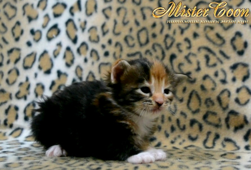 http://mistercoon.ru/images/stories/1SITE/Kitten/2014g/03/Nancy_04.JPG