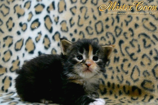 http://mistercoon.ru/images/stories/1SITE/Kitten/2014g/03/Nefertiti_02.JPG