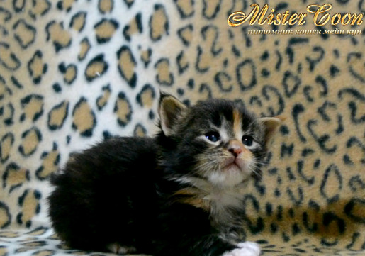 http://mistercoon.ru/images/stories/1SITE/Kitten/2014g/03/Nefertiti_03.JPG