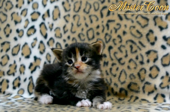 http://mistercoon.ru/images/stories/1SITE/Kitten/2014g/03/Nefertiti_04.JPG