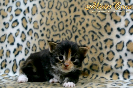 http://mistercoon.ru/images/stories/1SITE/Kitten/2014g/03/Nefertiti_05.JPG