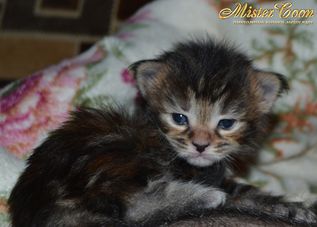 http://mistercoon.ru/images/stories/1SITE/Kitten/2014g/03/Nicole_02.JPG