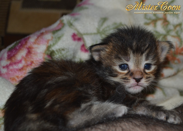 http://mistercoon.ru/images/stories/1SITE/Kitten/2014g/03/Nicole_03.JPG