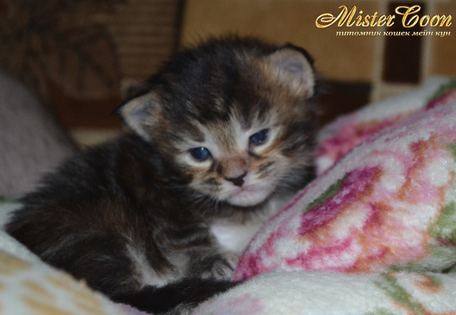 http://mistercoon.ru/images/stories/1SITE/Kitten/2014g/03/Nicole_04.JPG