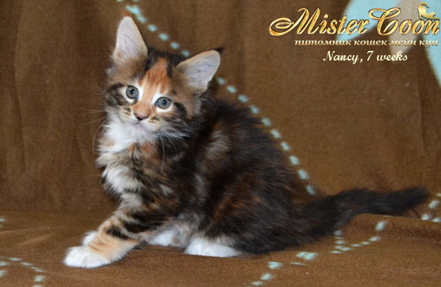 http://mistercoon.ru/images/stories/1SITE/Kitten/2014g/05/Nancy7w_06.jpg