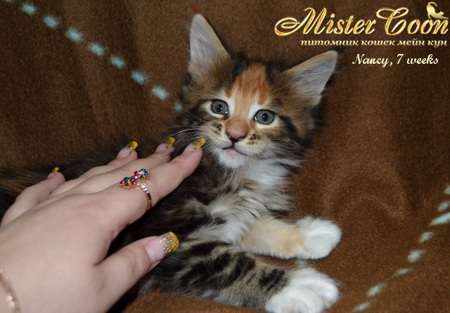 http://mistercoon.ru/images/stories/1SITE/Kitten/2014g/05/Nancy7w_07.jpg