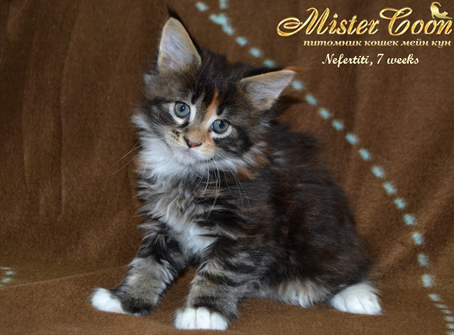 http://mistercoon.ru/images/stories/1SITE/Kitten/2014g/05/Nefertiti7w_02.jpg