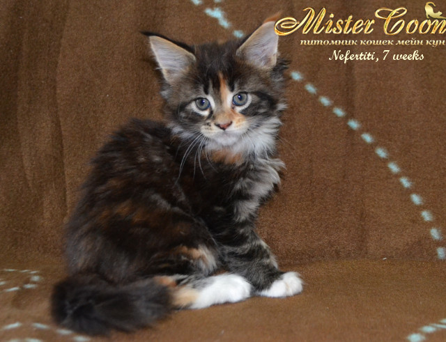 http://mistercoon.ru/images/stories/1SITE/Kitten/2014g/05/Nefertiti7w_03.jpg