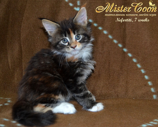 http://mistercoon.ru/images/stories/1SITE/Kitten/2014g/05/Nefertiti7w_05.jpg