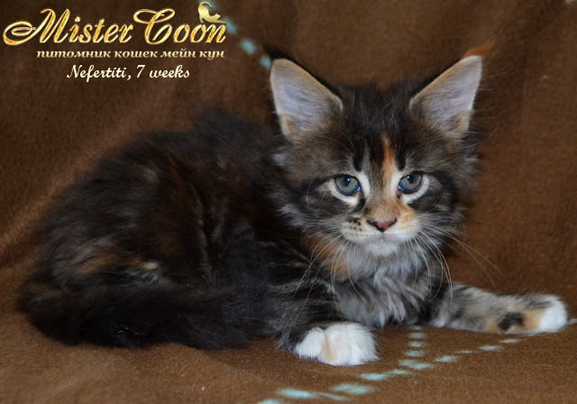 http://mistercoon.ru/images/stories/1SITE/Kitten/2014g/05/Nefertiti7w_06.jpg