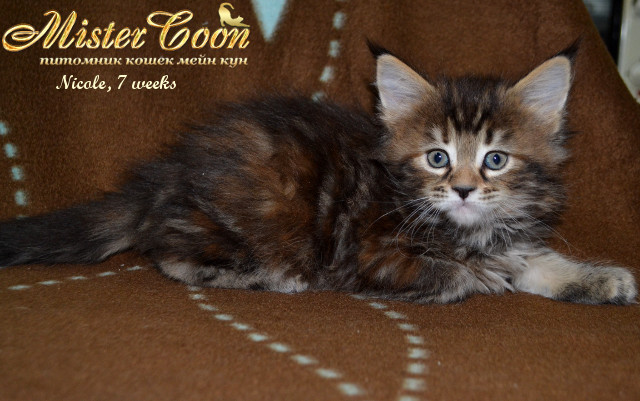 http://mistercoon.ru/images/stories/1SITE/Kitten/2014g/05/Nicole7w_02.jpg