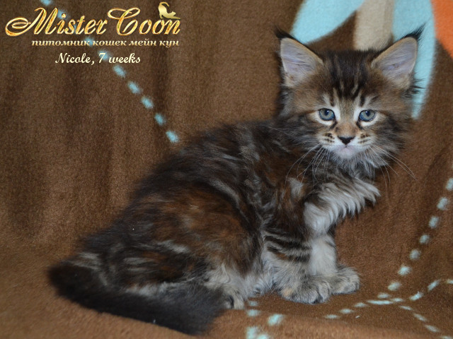 http://mistercoon.ru/images/stories/1SITE/Kitten/2014g/05/Nicole7w_07.jpg