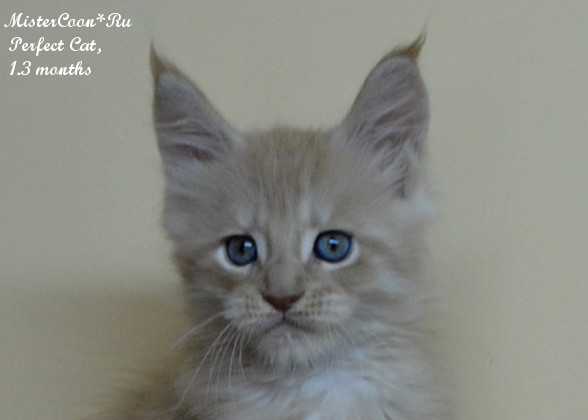 http://mistercoon.ru/images/stories/1SITE/Kitten/2014g/P/04/perfekt1_3m01.jpg