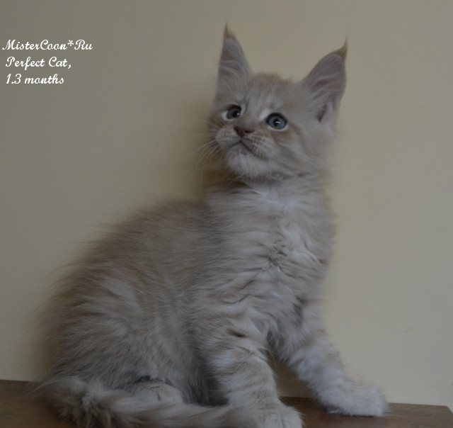 http://mistercoon.ru/images/stories/1SITE/Kitten/2014g/P/04/perfekt1_3m06.jpg