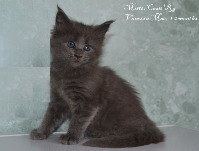 http://mistercoon.ru/images/stories/1SITE/Kitten/2014g/V/05/Vanessa1.2m_02.JPG