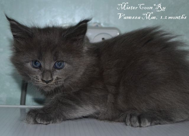 http://mistercoon.ru/images/stories/1SITE/Kitten/2014g/V/05/Vanessa1.2m_03.JPG
