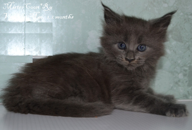 http://mistercoon.ru/images/stories/1SITE/Kitten/2014g/V/05/Vanessa1.2m_04.JPG
