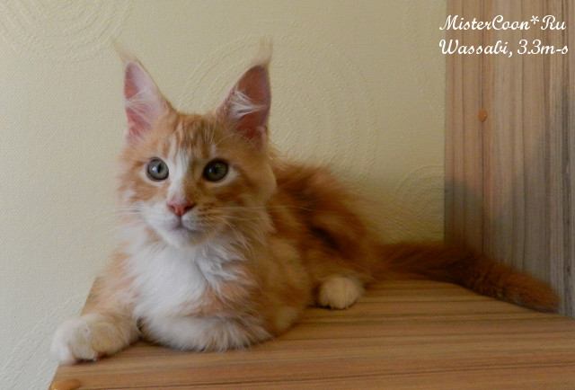 http://mistercoon.ru/images/stories/1SITE/Kitten/2014g/W/07/Wassabi3.3_04.jpg